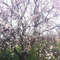 The Almond Trees are in full bloom