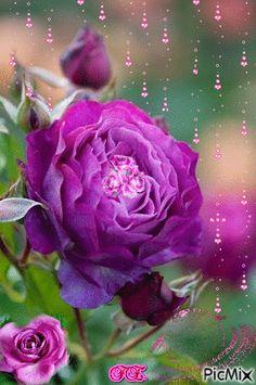 Egy szál lila rózsa.