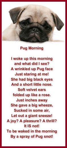 Poem that Pug owners can relate to! 'Pug Morning'
