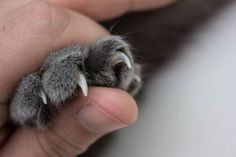 Trimming your cat's claws isn't always an easy feat. If you need to clip your cat's nails, here are a few tips on how to make the process easier. Cat Claw Nails, Trim Cat Nails, Raising Kittens, Cats And Kittens, Crazy Cat Lady, Crazy Cats, Cut Cat, Kitten Care