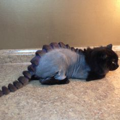 Persian Cat Haircut Dino Cat Plots Your Extinction is listed (or ranked) 2 on the list Cats Who Are Not Happy with Their New Hair Styles Funny Cats, Funny Animals, Cute Animals, Shaved Cat, Cat Haircut, Dragon Cat, Creative Grooming, Son Chat, Cat Grooming