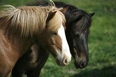 Horzees, Iceland in July © Miikka Järvinen Iceland Landscape, Landscape Photos, Around The Worlds, Horses, Animals, Animales, Animaux, Animal, Animais