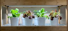If you lack outdoor space and want to grow edibles in your home, these 10 Indoor Vegetable Garden Ideas will help you! Growing Ginger Indoors, Green Onions Growing, Growing Vegetables Indoors, Growing Mint, Growing Greens, Herbs Indoors, Vertical Vegetable Gardens, Indoor Vegetable Gardening, Indoor Garden