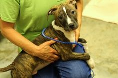 Reesee Cup is an adoptable Pit Bull Terrier Dog in Bryan, OH. The cost of adoption for dogs and puppies is $100 through September 2013. The adoption fee covers the dog/puppy being updated on shots, ca...