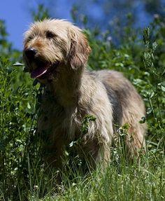 Bosnian Coarse-haired Hound Dog