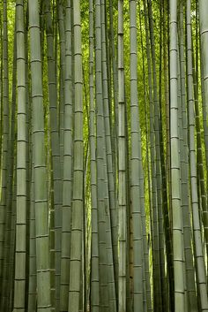 Bamboo forrest by Freddy Monteiro