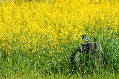 Kukkaketo - lintu motacilla alba västäräkki peltokanankaali Barbarea vulgaris pikkulintu kanto västi ruoho kasvi kesä luonto rikkaruoho joutomaa keto pelto isokukkainen kanankaali peltokanankaalet keltainen niitty kukkaketo kukkaniitty kanto kannolla
