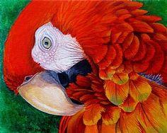 Scarlet Macaw by Tim Marsh ~ 12 x 12