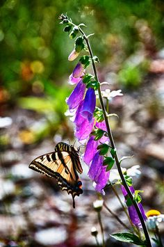Butterfly on pink flowers close up macro nature photography by Visionitaliane, $25.00