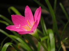 A zefírvirág (Zephyranthes sp. Purple Flowering Plants, Big Plants, Fruit Plants, Fall Plants, Bulb Flowers, Flowers Nature, Paper Flowers, Art Flowers, Flowers Perennials