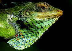Free Image on Pixabay - Chameleon, Forest, Nature Colorful Lizards, Large Lizards, Les Reptiles, Reptiles And Amphibians, Tegu Lizard, Terrarium Reptile, Dragons, Mannequin Art, Komodo Dragon
