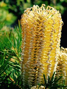 Banksia Birthday Candle di Flora Toscana Cut Flowers, Wild Flowers, Cactus Plants, Garden Plants, Australian Wildflowers, Inspired Homes, Birthday Candles, Floral Arrangements, Wedding Flowers
