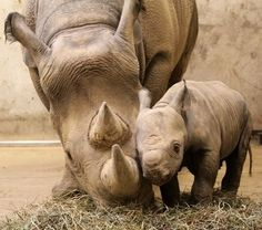 Baby rhino and mommy - are they not the cutest babies ever?