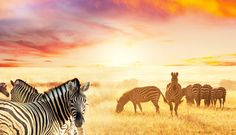 Bouletta's zebra series