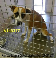 ON THE EUTHANASIA LIST! NEEDS COMMITMENT BY 6AM ON 8-20-13  This guy is listed as fearful.   ID#A145377  Due Out Date: 08/02/2013 I am a male, tricolor Australian Shepherd mix.  The shelter staff think I am about 1 year old.  I have been at the shelter since Jul 29, 2013.  Pinal County Animal Control 1150 S Eleven Mile Corner Rd Casa Grande, AZ 85122 520-509-3555  https://www.facebook.com/photo.php?fbid=391336570968623=a.358530097582604.1073741831.120830141352602=1_count=1