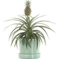 Bromelia ananas champaca incl. 'Deep Forest' pot