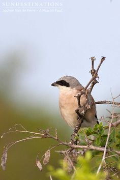 "Red-backed shrike : This is another migratory bird which is often seen during the Summer months in the Kruger. This is a carnivorous bird which eats insects, small birds, frogs, rodents and lizards. It actually hunts from its perch, where it watches prey carefully before attacking. It actually impales its prey on thorns and other sharp objects.  It has certainly earned its nickname of ""Butcher Bird"" ! #shrike #birds #southafricabirding #africaonfoot #klaseriebirds #birdsafari #africabirds"
