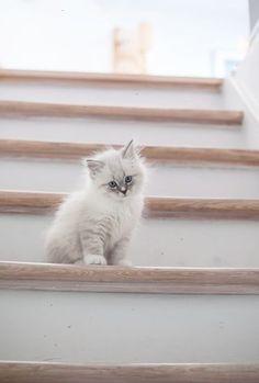 Kolo kitten neva blue tabby with white Veja este link >>    Os gatinhos são adoráveis e difíceis de resistir mas se não pode dar muita atenção o ideal é um gato adulto. Se procura um companheiro felino irá encontrar várias opções.