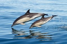 Cardigan Bay 'Common Dolphin and Calf' by Mike Snelle - winning entry in the The Wildlife Trust of South & West Wales 2015 amateur photography competition.