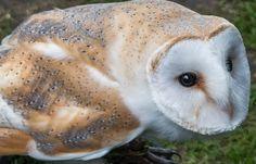 Barn Owl Face | by nickcoburn62