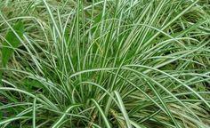 Japan-Gold-Segge (Carex oshimensis 'Evergold')