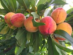 Daleys Fruit Tree: Peach Tree Tropic Beauty - Low Chill Hours