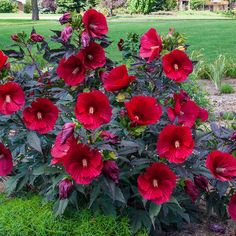 Huge red blooms glow against the richest purple foliage in the genus Loves moist rich soils but adapts well to dryer poor conditions Neat and compact Hibiscus Bush, Growing Hibiscus, Hibiscus Tree, Hibiscus Garden, Hibiscus Flowers, Exotic Flowers, Red Flowers, Beautiful Flowers, Hawaiian Flowers