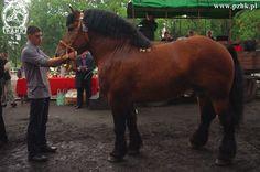 Polish Coldblood - stallion Brugon