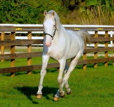 White Bliss the rare white standardbred what a beauty!