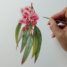 The Life and Work of Annemieke Mein Heidi Willis Botanical and Wildlife Artist Australian Wildflowers, Australian Native Flowers, Australian Art, Australian Tattoo, Botanical Tattoo, Botanical Drawings, Botanical Art, Vintage Botanical Illustration, Watercolor Flowers