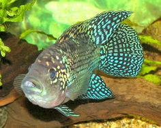 Types of Cichlids  The Electric Blue Jack Dempsey is a favorite South American Cichlid