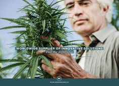 The Harvest How-To : A Step-by-Step Guide to Harvesting Your Cannabis Stock News, Cannabis Plant, Medical Cannabis, Magazine Articles, News Magazines, Step Guide, Hemp, Entertaining, Culture