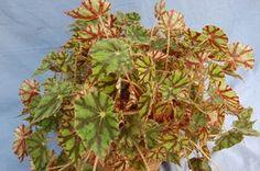 Begonia 'Tiger Kitten' is a rhizomatous heirloom variety