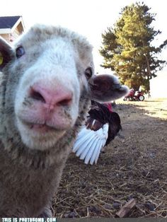 Sheep Photobomb