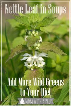 foraging for Stinging Nettle can add more greens to your diet with this recipe. Healing Herbs, Medicinal Herbs, Edible Wild Plants, Edible Food, Wild Edibles, Growing Herbs, Edible Flowers, Native Plants, Herbalism