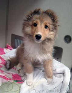 Photo: How about a story about Harper to start your Monday off? This little Sheltie pup was attacked by a much larger dog and had serious injuries to her chest. She was nonresponsive and in our ICU with oxygen after she arrived. Dr. Peterson did surgery to close her wounds and remove free air in her chest cavity that was making it difficult for her to breath. By the next morning, Harper was sitting up and happy to see us. I'm happy to report that she's since made a full recovery. :)
