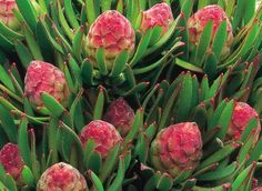 Pick all flowers to maintain shape. Grows to tall and wide. Protea Wedding, Wedding Flowers, All Flowers, Amazing Flowers, Tropical, Flower Company, Landscaping Plants, Garden Projects, Garden Ideas