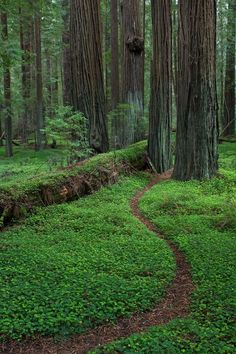 Grieg, French, Bell Grove - Humboldt Redwoods by Max Forster Forest Path, Tree Forest, Forest Trail, All Nature, Amazing Nature, Beautiful World, Beautiful Places, Magical Forest, Walk In The Woods