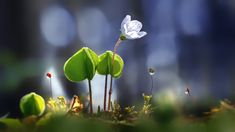 Waldsauerklee (Oxalis acetosella) - Pinned by Mak Khalaf Germany Forest/Unterfranken 2017 Nature NatureMacroFlowersDropsMoos by Nikkorwolf Oxalis Acetosella, Beautiful Images, Beautiful Flowers, Tree Mushrooms, Fotografia Macro, Irish Blessing, World Photo, Cool Landscapes, Nature Pictures