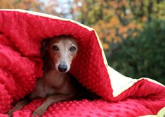 How Does Pet Insurance Works – Animal Health Info Dog Bag, Fluffy Dogs, Healthy Pets, Pet Insurance, Italian Greyhound, Pet Beds, Whippet, Sleeping Bag, Pet Health