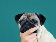 MeetThePugs - Funny images of a pug's everyday life. Dog Wallpaper Iphone, Animal Wallpaper, Funny Dogs, Cute Dogs, Baby Pugs, Pug Art, Pug Pictures, Pug Puppies, Grumpy Cat
