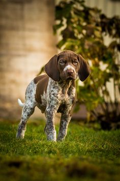 German Shorthaired P