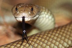 Mulga Snake | Flickr - Photo Sharing!