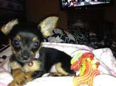 Chihuahua, Yorkshire Terrier Yorkie [Mix]Dog