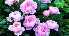 Typ: Englische Rose, Strauchrose. Züchter: Austin, 2004