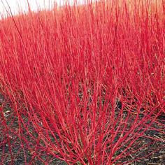 red twig dogwood shrub, Cornus alba Sibirica