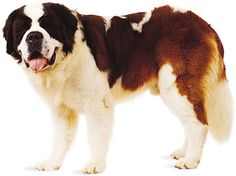 One day I will get a St. Bernard...one day...