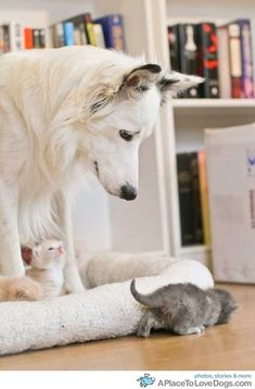 Watching Over The Wee Ones...look at that tiny little white kitten looking up at his guardian....too darn cute!
