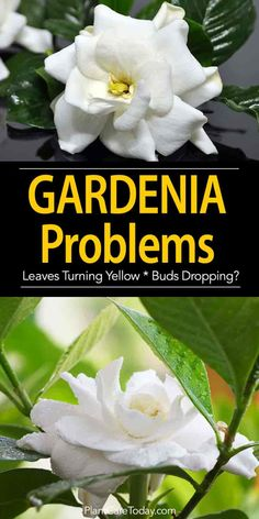 Organic Gardening Supplies Needed For Newbies Gardenia Plant Problems Gardenia Care, Gardenia Bush, Camellia, Indoor Gardening Supplies, Gardening Tips, Organic Gardening, Urban Gardening, Landscaping Plants, Garden Plants