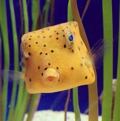 Who knew fish could so gosh darn cute? This Yellow Boxfish lives at the Adventure Aquarium. Underwater Creatures, Underwater Life, Ocean Creatures, Beautiful Sea Creatures, Animals Beautiful, Water Animals, Marine Fish, Exotic Fish, Sea Fish